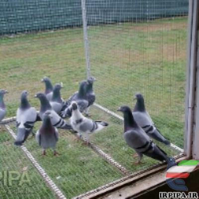 عرق کاسنی برای کبوتر مسابقه ای